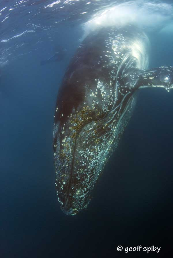 sardine-run--humpback-whale_diving_South_Africa_diving_001
