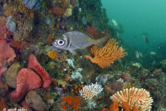 Port-Elizabeth-Bell-bouy--reef_diving_South_Africa_diving_001