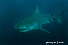 shark_diving_South_Africa_diving_001